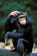 chimpscratching185